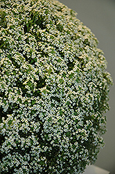 White Knight Alyssum (Lobularia maritima 'White Knight') at Peck's Green Thumb Nursery