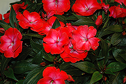 Infinity® Electric Coral New Guinea Impatiens (Impatiens hawkeri 'Infinity Electric Coral') at Peck's Green Thumb Nursery