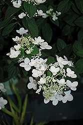 Mystical Flame Hydrangea (Hydrangea paniculata 'Bokratorch') at Peck's Green Thumb Nursery