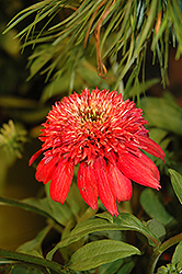 Double Scoop™ Cranberry Coneflower (Echinacea 'Balscanery') at Peck's Green Thumb Nursery