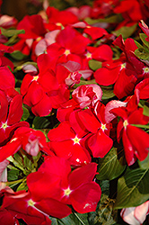 Cora® Red Vinca (Catharanthus roseus 'Cora Red') at Peck's Green Thumb Nursery