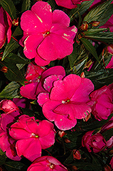 Super Sonic Purple New Guinea Impatiens (Impatiens hawkeri 'Super Sonic Purple') at Peck's Green Thumb Nursery