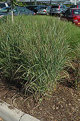 Ruby Ribbons Switch Grass (Panicum virgatum 'Ruby Ribbons') at Peck's Green Thumb Nursery