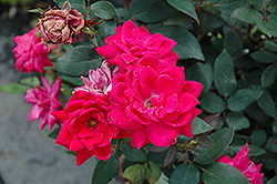 Red Double Knock Out Rose (Rosa 'Red Double Knock Out') at Peck's Green Thumb Nursery