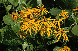 Othello Rayflower (Ligularia dentata 'Othello') at Peck's Green Thumb Nursery