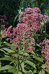 Gateway Joe Pye Weed (Eupatorium maculatum 'Gateway') at Peck's Green Thumb Nursery