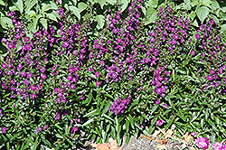 Angelface® Dark Violet Angelonia (Angelonia angustifolia 'Angelface Dark Violet') at Peck's Green Thumb Nursery