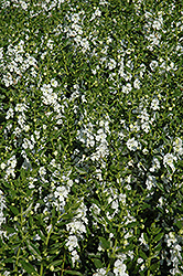 Angelface® White Angelonia (Angelonia angustifolia 'Angelface White') at Peck's Green Thumb Nursery