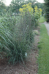 Indian Warrior Bluestem (Andropogon gerardii 'Indian Warrior') at Peck's Green Thumb Nursery