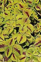 Kong Jr. Lime Vein Coleus (Solenostemon scutellarioides 'Kong Jr. Lime Vein') at Peck's Green Thumb Nursery