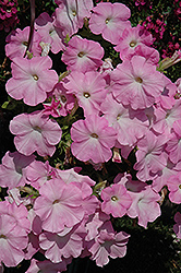 Easy Wave® Mystic Pink Petunia (Petunia 'Easy Wave Mystic Pink') at Peck's Green Thumb Nursery