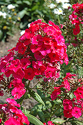 Red Flame Garden Phlox (Phlox paniculata 'Red Flame') at Peck's Green Thumb Nursery