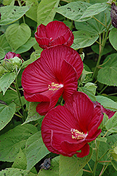 Luna™ Red Hibiscus (Hibiscus moscheutos 'Luna Red') at Peck's Green Thumb Nursery