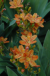 Freckle Face Blackberry Lily (Iris domestica 'Freckle Face') at Peck's Green Thumb Nursery