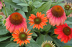 Sombrero® Hot Coral Coneflower (Echinacea 'Balsomcor') at Peck's Green Thumb Nursery