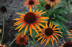 Flame Thrower Coneflower (Echinacea 'Flame Thrower') at Peck's Green Thumb Nursery