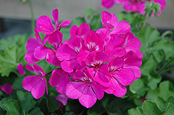 Caliente Lavender Geranium (Pelargonium 'Caliente Lavender') at Peck's Green Thumb Nursery
