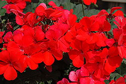 Caliente Orange Geranium (Pelargonium 'Caliente Orange') at Peck's Green Thumb Nursery