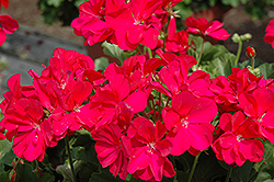 Boldly® Hot Pink Geranium (Pelargonium 'Boldly Hot Pink') at Peck's Green Thumb Nursery
