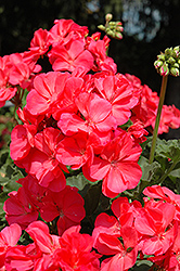Fantasia® Flamingo Rose Geranium (Pelargonium 'Fantasia Flamingo Rose') at Peck's Green Thumb Nursery