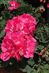 Fantasia® Neon Rose Geranium (Pelargonium 'Fantasia Neon Rose') at Peck's Green Thumb Nursery