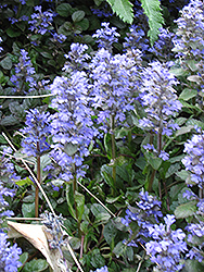 Blue Bugleweed (Ajuga genevensis) at Peck's Green Thumb Nursery