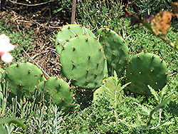 Prickly Pear Cactus (Opuntia humifusa) at Peck's Green Thumb Nursery
