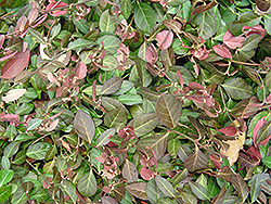 Purpleleaf Wintercreeper (Euonymus fortunei 'Coloratus') at Peck's Green Thumb Nursery