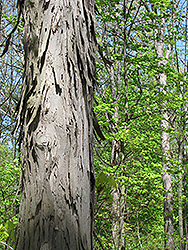 Shagbark Hickory (Carya ovata) at Peck's Green Thumb Nursery