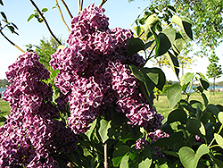 Monge Lilac (Syringa vulgaris 'Monge') at Peck's Green Thumb Nursery