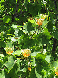 Tuliptree (Liriodendron tulipifera) at Peck's Green Thumb Nursery