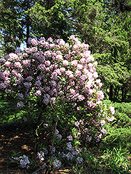 Catawba Rhododendron (Rhododendron catawbiense) at Peck's Green Thumb Nursery