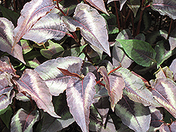 Red Dragon Fleeceflower (Persicaria microcephala 'Red Dragon') at Peck's Green Thumb Nursery