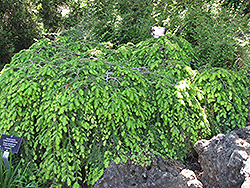 Cole's Prostrate Hemlock (Tsuga canadensis 'Cole's Prostrate') at Peck's Green Thumb Nursery