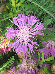 Cornflower (Centaurea dealbata) at Peck's Green Thumb Nursery