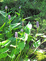 Pickerelweed (Pontederia cordata) at Peck's Green Thumb Nursery