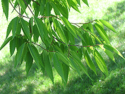 Japanese Zelkova (Zelkova serrata) at Peck's Green Thumb Nursery