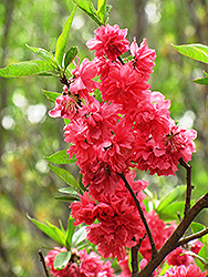 Double Red Flowering Peach (Prunus persica 'Double Red') at Peck's Green Thumb Nursery