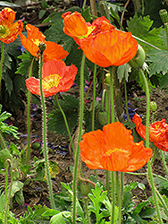 Iceland Poppy (Papaver nudicaule) at Peck's Green Thumb Nursery