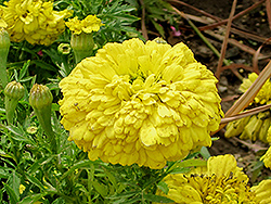 French Marigold (Tagetes patula) at Peck's Green Thumb Nursery