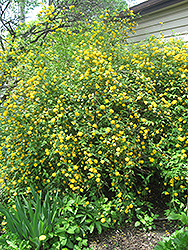 Double Flowered Japanese Kerria (Kerria japonica 'Pleniflora') at Peck's Green Thumb Nursery