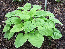 August Moon Hosta (Hosta 'August Moon') at Peck's Green Thumb Nursery