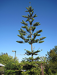 Norfolk Island Pine (Araucaria heterophylla) at Peck's Green Thumb Nursery