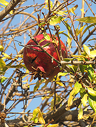 Pomegranate (Punica granatum) at Peck's Green Thumb Nursery