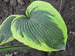 Climax Hosta (Hosta 'Climax') at Peck's Green Thumb Nursery