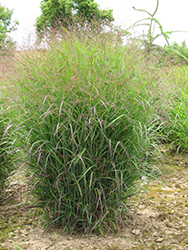 Prairie Sky Switch Grass (Panicum virgatum 'Prairie Sky') at Peck's Green Thumb Nursery