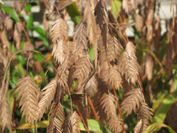 Northern Sea Oats (Chasmanthium latifolium) at Peck's Green Thumb Nursery