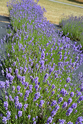 Hidcote Blue Lavender (Lavandula angustifolia 'Hidcote Blue') at Peck's Green Thumb Nursery