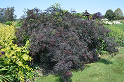 Black Lace® Elder (Sambucus nigra 'Eva') at Peck's Green Thumb Nursery