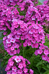 Grape Lollipop™ Garden Phlox (Phlox paniculata 'Ditomsur') at Peck's Green Thumb Nursery